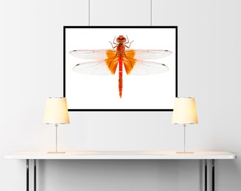 Scarlet Dragonfly species Crocothemis erythraea in high definition with extreme focus and DOF - SKU 03239