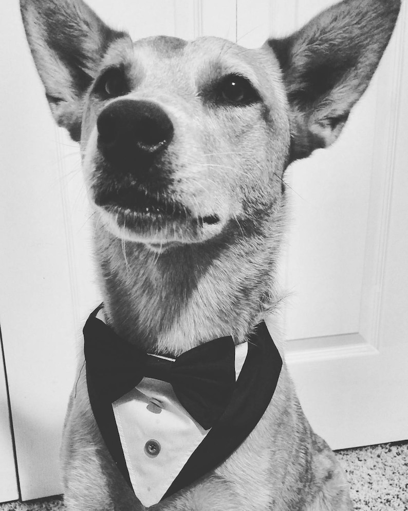 dark grey and burgundy bowtie bowtie over the collar Tuxedo dog bandana custom colors
