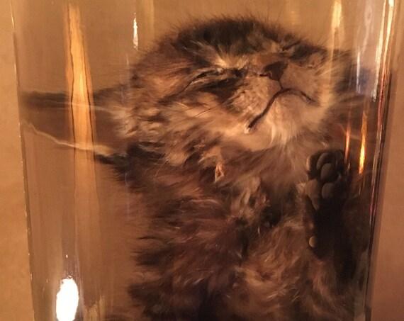Kitten Wet Specimen