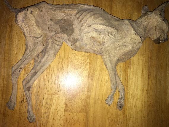 Mummified, Dessicated Cat, Female, Nancy.