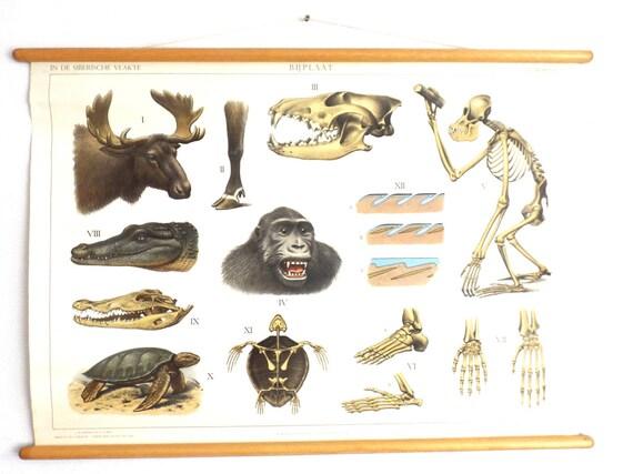 Pull Down Chart Schule Diagramm anatomische Borneo Sibirien