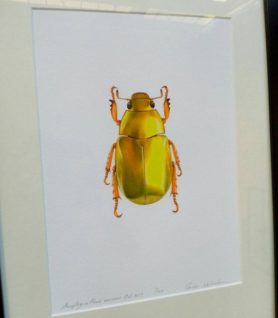 Australian Christmas Beetle.Framed Limited Edition Print Golden Australian Christmas Beetle