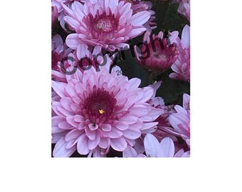 Two Violet Mums Photo