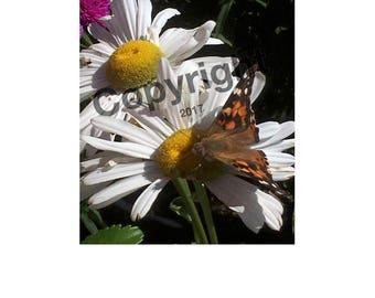 Monarch On Daisy Photo