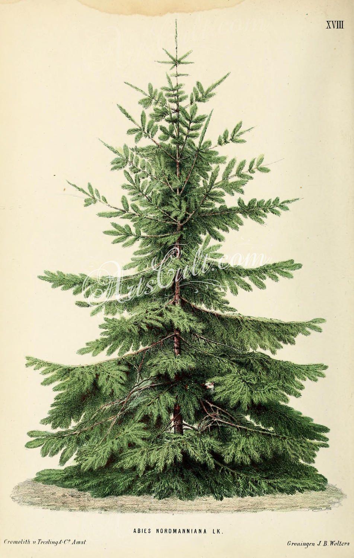 trees-00724 Nordmann Fir or Caucasian Fir abies | Etsy