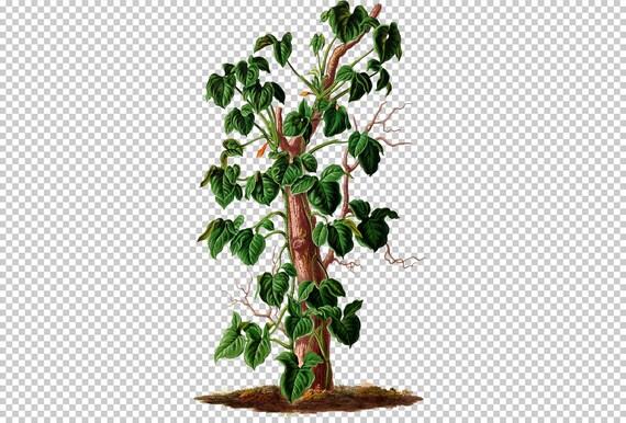 plants-32979 - 015-syngonium riedelianum houseplant Arrowhead vine on
