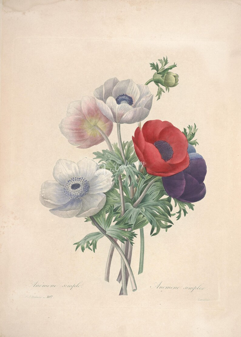 flowers-23875 - anemone simplex flower bouquet red white purple picture by  Pierre-Joseph Redoute digital vintage illustration flavor floral