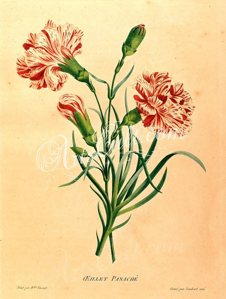 photo regarding Vintage Printable named bouquets-32412 - Carnation typical printable case in point electronic obtain visualize picture community area guide website page plate large option jpg