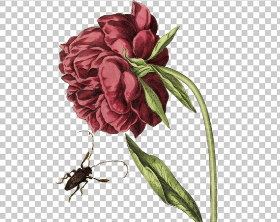 Gladiolus vintage printable illustration digital download picture image public domain book page plate high resolution jpg flowers-15196