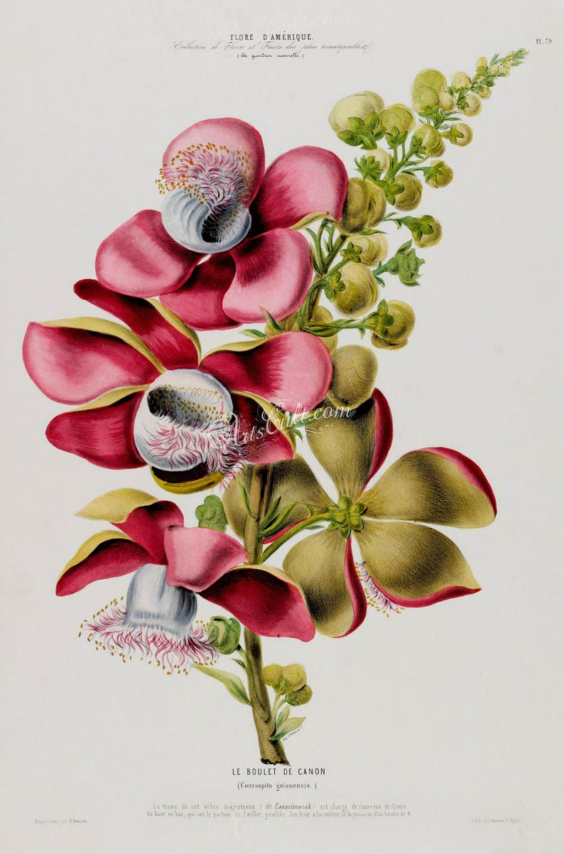 flowers-18037 couroupita guianensis flowering branch of cannonball deciduous tree red pink flowers printable vintage print picture image
