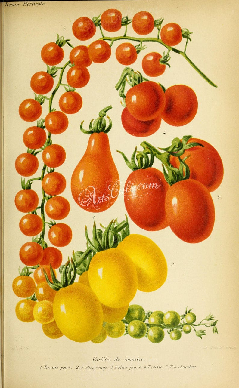 Tomato Yellow Red Olive Rosary Cherry bunch oval pear form raceme printable digital vintage illustration succulent tomatoes fruits-04144