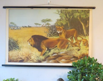 Vintage pull down educational school chart of LIONS on the African plains.