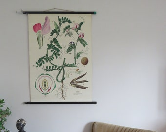 Vintage roll down school chart of COMMON VETCH 1950's botanical pull down chart