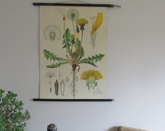 Vintage pull down  school chart of DANDELION roll down botanical chart from Austria 1950s/60s