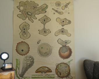 Rare vintage Otto Schmeil educational wall chart of AMOEBA PROTOZOA. lithograph 1899-1910 school chart.