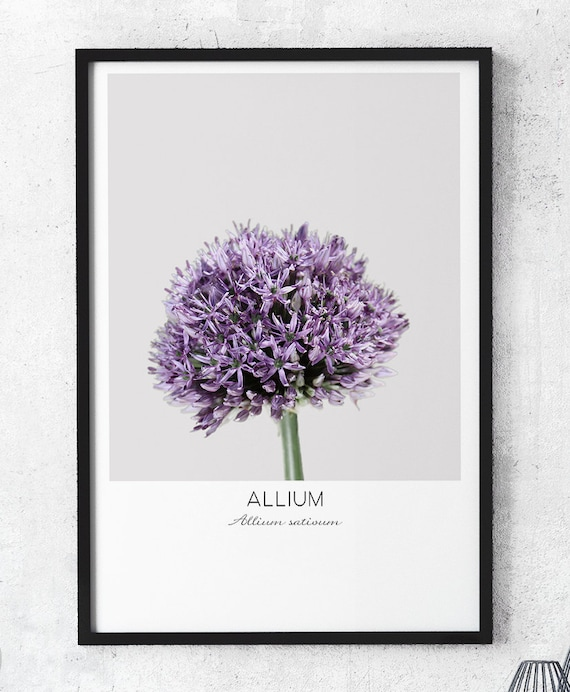 Spring Flower Photography Allium Plant Nature Photography Etsy