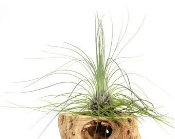Tillandsia Filifolia Air Plant // Hello Tilly Airplant