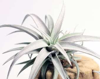 Tillandsia Chiapensis Air Plant // Hello Tilly Airplant