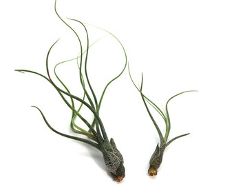 Tillandsia Butzii Air Plant (large) // Hello Tilly Airplant