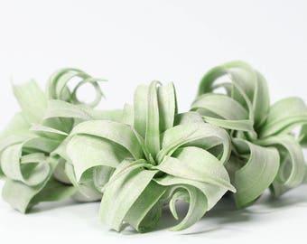 Tillandsia Streptophylla Air Plant // Hello Tilly Airplant