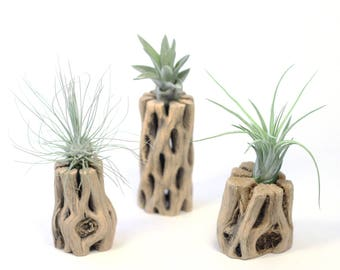 Mini Cholla Wood // Tillandsia Mount // Air Plant Holder // Hello Tilly Airplant