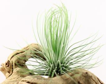 Tillandsia Andreana Air Plant // Hello Tilly Airplant