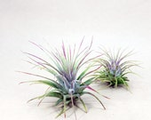 Tillandsia Ionantha Air Plant Hello Tilly Airplant
