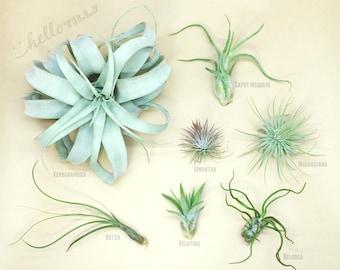 Tillandsia Starter Pack | Air Plants | Hello Tilly Airplants