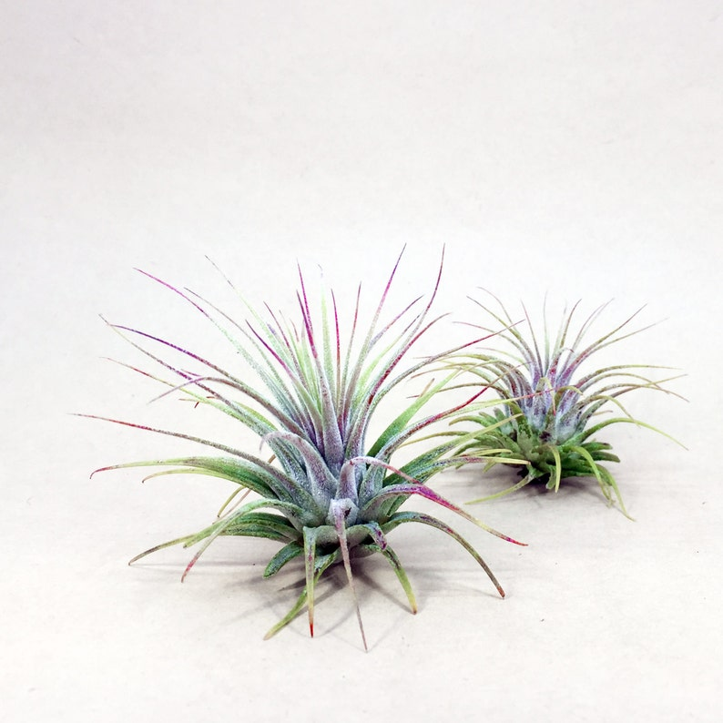 Tillandsia Ionantha // Air Plant // Hello Tilly Airplant image 0