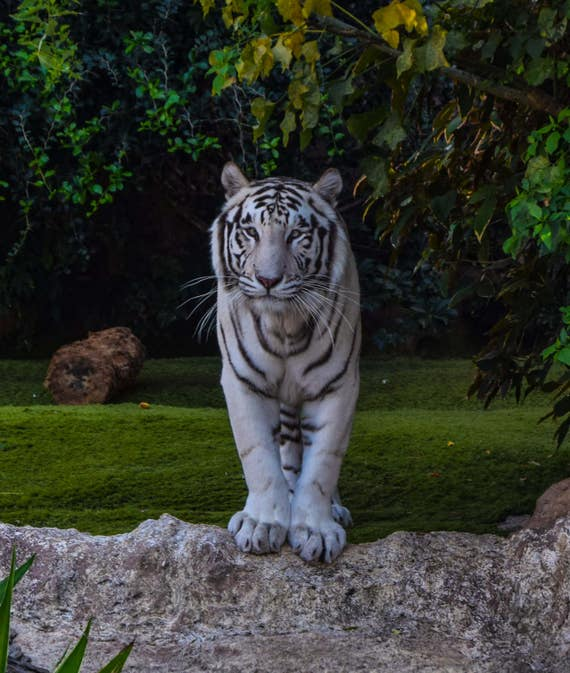 White Tiger Wall Decor, White Tiger Photography, Wildlife Photography, Ready To hang, White Tiger Pictures, Large Cat Photos, Fine Art
