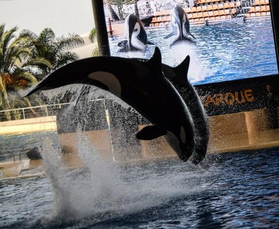 Orca Wall Decor, Wildlife Photography, Whale photography, Killer Whale, Orca wall art, Whale Wall Art, Whale print, Orca Art, Orca Whale