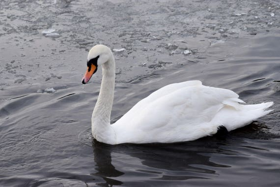Graceful Swan on icy water, swan photography, animal photography, wildlife photography,swan art, swan decor, swan print, pond photography