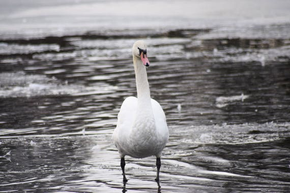 Swan Photography, Swan Standing on frozen water, Wildlife Photography, Swan Print, Swan Photo, swan art, swan decor, pond photography