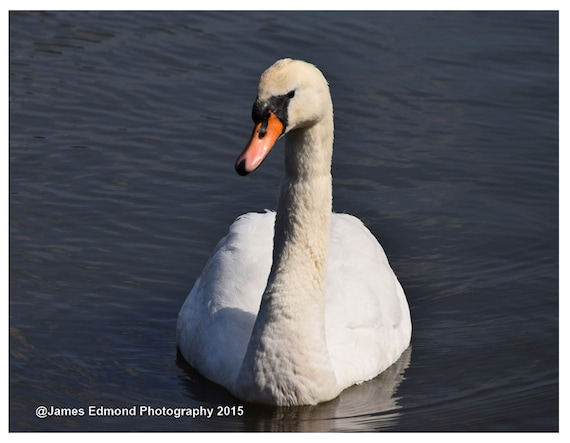 Swan Relaxing, Bird Photography, Swan Photography,  Swan Art, Wildlife Photography, Swan Print, Swan Photo, swan decor, pond photography