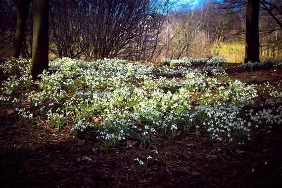 Snowdrops, Glasgow Park, Park Photography, Flower Photography, Nature Photography, Flower, Wall Art, Wall Decor, Fine Art Photography