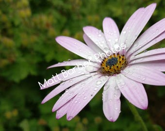 Pink Daisy Photo Print