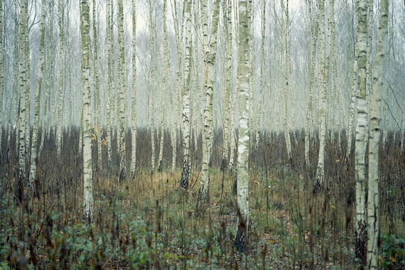 Forest Printable - Birch Forest Photo - Birches Photography - Misty on