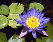 10 BLUE WATER LILY / Lily Pad / Asian Water Lotus / Sacred Egyptian Lotus Nymphaea Caerulea Flower Seeds photo