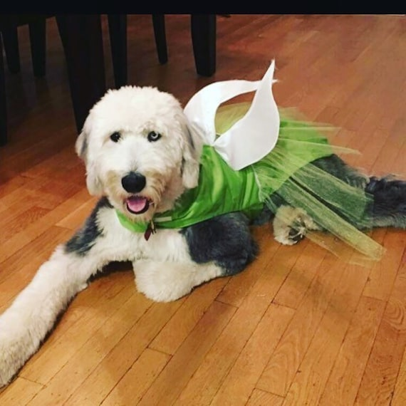 Large white doodle laying on floor wearing tinker bell costume.