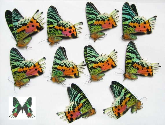 real papered butterflies wholesale for artwork Urania ripheus 10pcs A1//A