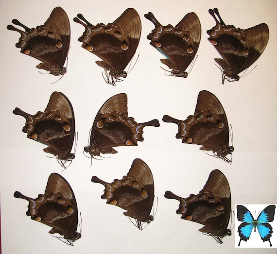 Papilio ulysses ulysses,10pcs,UNMOUNTED butterfly