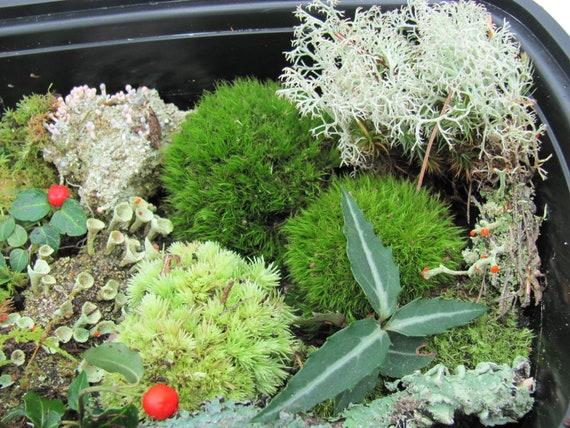 Lichen and Woodland Plants Fairy Gardens Live Assortment Lot of Moss Terrarium