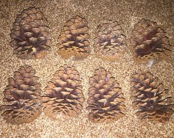 8 Texas pinecones for DIY varies sizes