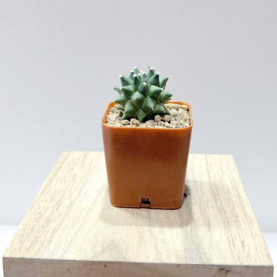 rare cactus plant unique pot container mammillaria