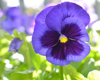 Blue Pansy, Blue Pansy Canvas Print, Blue Pansy Photograph #987