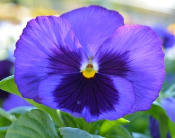 Blue Pansy Canvas Print #976