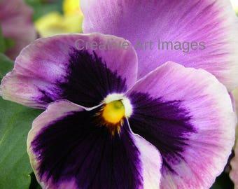 Purple Pansy, Purple Pansy Canvas Print, Purple Pansy Photograph #128