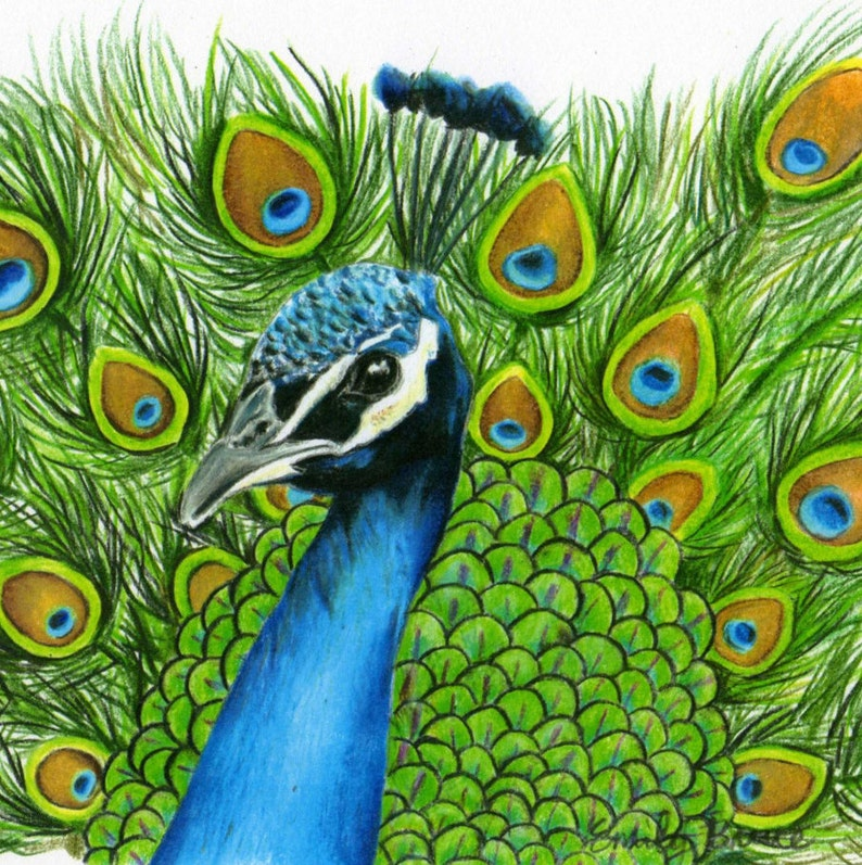 Peacock Art Print 8x10 Colored Pencil Peacock picture ...