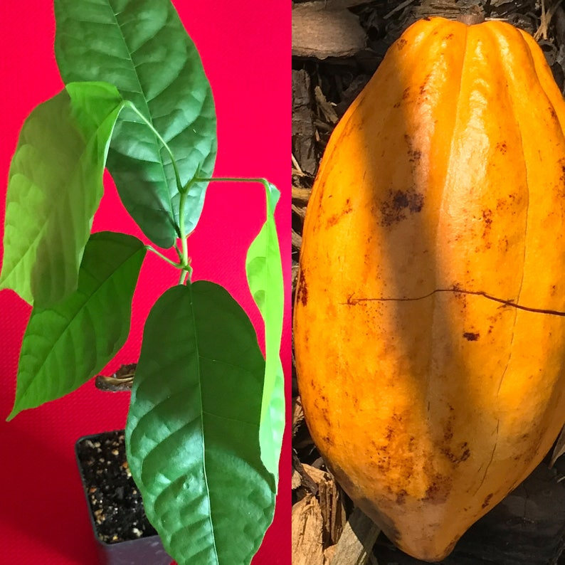FORASTERO Theobroma Cacao Cocoa Chocolate Fruit Tropical Tree Potted PLANT  Yellow Pod 10-13