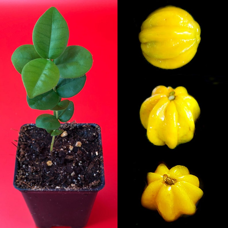 Pitangatuba Star Cherry Eugenia Selloi neonitida Fruit Tree Seedling Plant